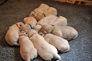 All ten pups at ten days old all snuggled up